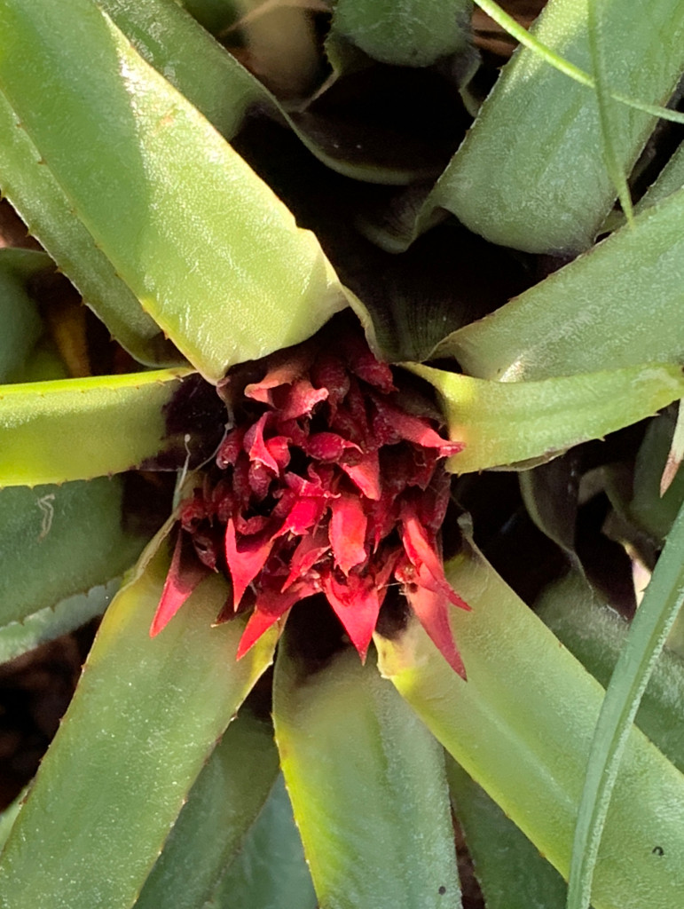 Aechmea recurvata 'Terrific'