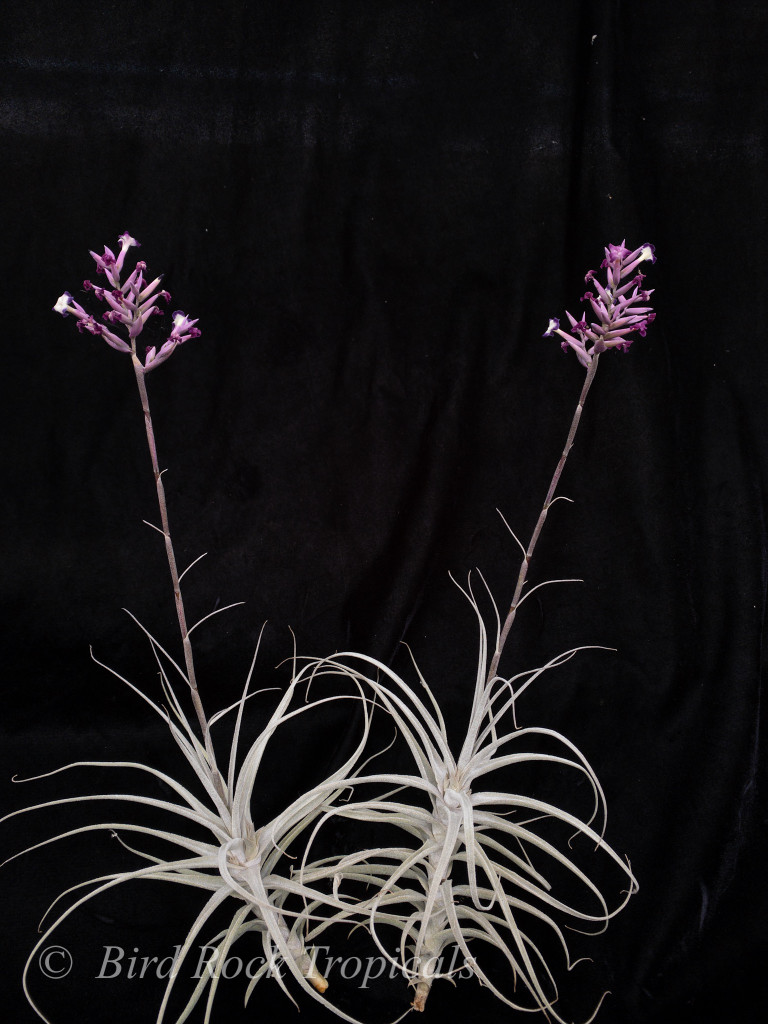 Tillandsia purpurea 'Silver Streak'