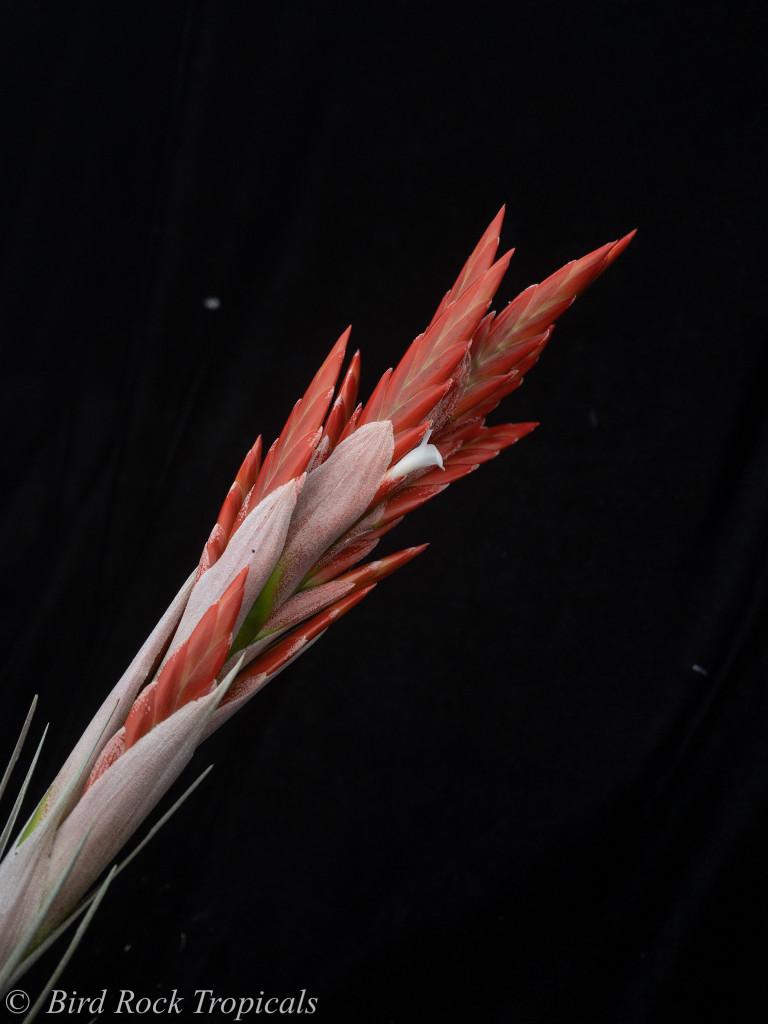 Tillandsia vernicosa - Giant Clone