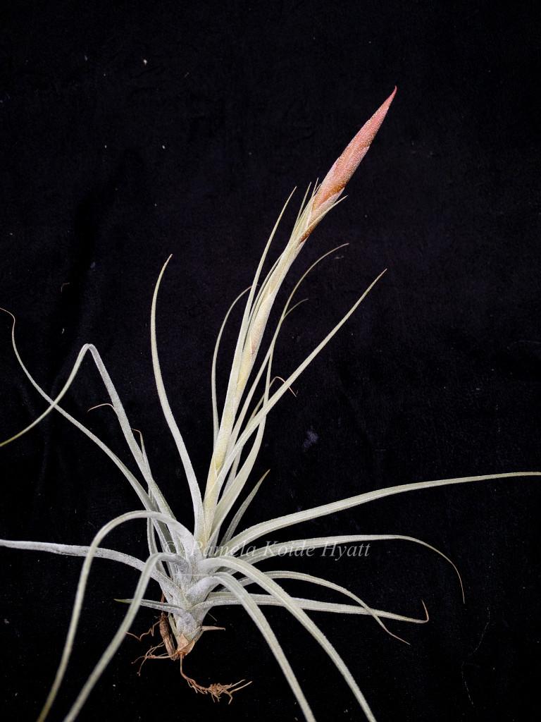 Tillandsia cardenasii X pueblensis