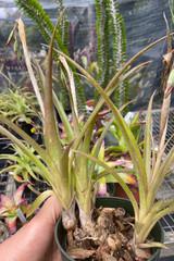 Billbergia nutans (miniata)