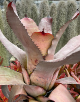 Neoregelia carcharodon 'Silver'