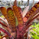 Neoregelia Hanibal Lector X rubrifolia
