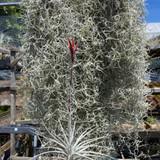 Tillandsia  tectorum  'Kinize's Casmensis'