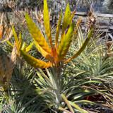 Tillandsia fasciculata 'Mitla'