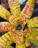 Neoregelia lilliputiana x ampullacea