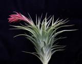 Tillandsia Bellissima (T. neglecta X sucrei)