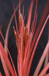 Tillandsia Red Rover