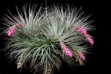 Tillandsia Dallas