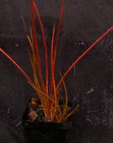 Acanthostachys pitcairnioides