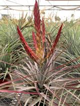 Tillandsia fasciculata 'Percal' hybrid
