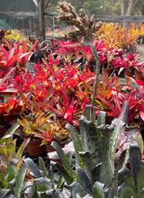 Hohenbergia leopold-horstii, F2