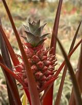 Ananas lucida
