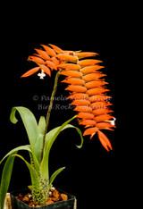Racinaea dyeriana (Tillandsia dyeriana)