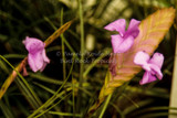 Wallisia lindenii (=T. lindenii)