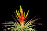 Tillandsia fasciculata (Costa Rica)