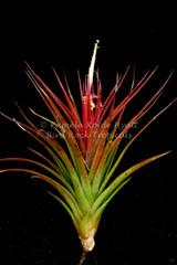 Tillandsia x rectifolia
