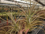 Tillandsia purpurea (giant clone)