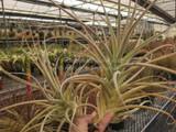Tillandsia purpurea (Giant Clone)
