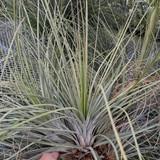 Tillandsia Tropical Fescue - (T. fasciculata v. venospica (Dominican Republic) X juncea)