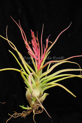 Tillandsia Showtime - (T. bulbosa X streptophylla)