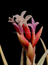 Tillandsia Chameleon- (T. neglecta X ixioides)
