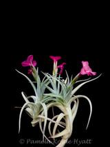 Tillandsia Mystic Rainbow Pink - (T. albertiana x arequitae)