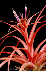 Tillandsia Pacific Sunset - (T. rothii x capitata 'Rubra')