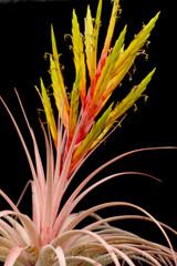 Tillandsia Fireworks - (T. xerographica x roland-gosselinii)