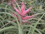Tillandsia Lucille -  (T. ehlersiana x streptophylla), Mexico