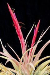 Tillandsia Majestic - (T. chiapensis (Giant) x concolor)