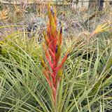 Tillandsia x Floridana x fasciculata v. densispica