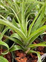 Tillandsia confertiflora