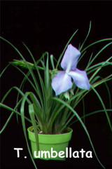 Wallisia lindeniana (= T. umbellata)