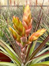 Tillandsia fasciculata 'Tropiflora'