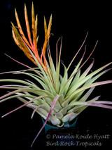 Tillandsia fasciculata 'Teotitlan'
