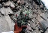 Tillandsia heteromorpha var. rauhii (Peru)