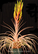 Tillandsia 'Chaca-Beast' (T. tomasellii X fasciculata, natural hybrid