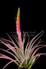 Tillandsia Dagger - (T. chiapensis x tricolor)