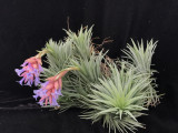 Tillandsia Blue Bells - (T. neglecta x Dennis)