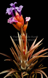 Tillandsia neglecta (red/bronze form)