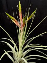 Tillandsia fasciculata v. fasciculata (T068)