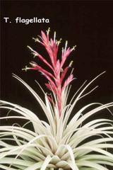Tillandsia flagellata (syn. T. lehmanii)