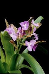 Racinaea (Tillandsia) hamaleana (large clone)