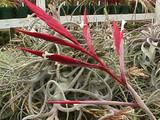Tillandsia lorentziana