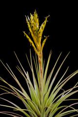 Tillandsia fasciculata (yellow form, Yucatan)
