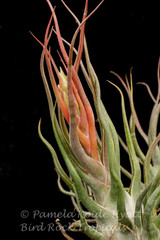 Tillandsia Charles Wiley