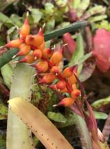 Aechmea nudicaulis cv. La Tigra (Red)