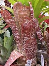 Hohenbergia correia-araujoi