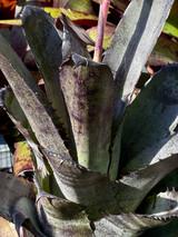 Hohenbergia leopoldo-horstii (dark clone)